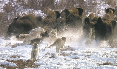PBSDelta wolf pack in pursuit of buffalo herd.
