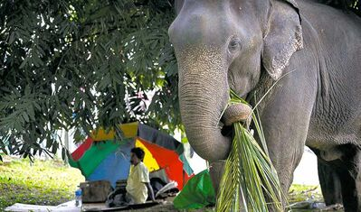 An elephant is ready for an annual Buddhist festival in Sri Lanka.