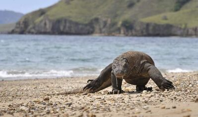 Komodo dragons are the largest lizards in the world growing up to three metres long and weighing up to 70 kilograms. The lizards are lethargic, lumbering creatures but they have a fearsome reputation for devouring anything they can, including their own.