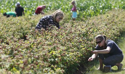 Michelle Dagenais (right) and her mother-in-law, Solange Bisaillon, gather raspberries at Boonstra Farms in Stonewall Monday.
