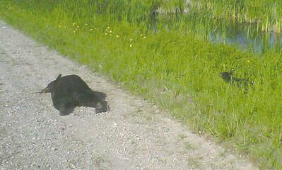 A dead mother bear lies on Highway 313 near Poplar Point. One of the two orphaned cubs is seen several metres away from the dead bear. Both cubs escaped into the forest.