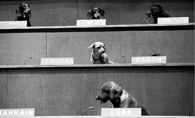 Michelle Siu / THE CANADIAN PRESSThere would be no downside to letting Dachshunds run the UN unless Cuba deposited an unexpected gift on China�s seat. dogs sit in their positions for the performance installation �Dachshund UN�, where dachshund dogs were used to mimic a United Nations Commission on Human Rights meeting in Toronto on Thursday, February 28, 2013. Australian artist Bennett Miller created the show to question humanity�s potential for creating a universal justice system. Michelle Siu / THE CANADIAN PRESS/Michelle Siu