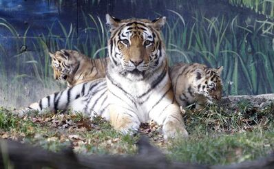 Kendra sits with her two newly born tiger cubs born in Assiniboine Park in October 2011. Reka, one of the cubs, died today.
