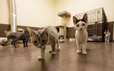 Fifty per cent of the gross licence revenue would go for spay-and-neuter programs at organizations chosen by the head of the city's animal-control services.