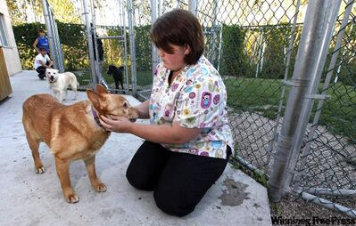 Caitlin Parr handles a skittish Hammond, one of the dogs rescued from a Gull Lake home and headed for doggie rehab.