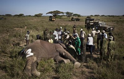 In this Feb. 19, 2013 photo, a team from the Kenya Wildlife Service (KWS) and the International Fund for Animal Welfare (IFAW) fit a GPS-tracking collar onto a tranquilized 26-year-old male elephant, to monitor migration routes and to help prevent poaching, at the Kimana Wildlife Sanctuary next to Amboseli National Park in southern Kenya, near the border with Tanzania.
