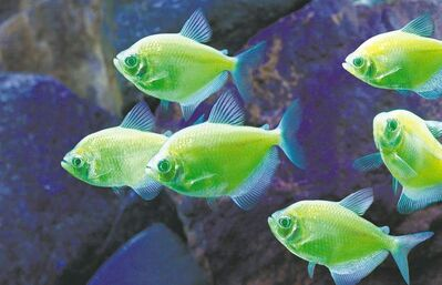 The future of biotech appears to be as bright as these glow-in-the-dark tetras -- but the ethics of genetically modifying living creatures still need to be worked out.