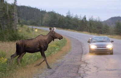 A moose is shown running in front of a car as it crosses the road in Gros Morne National Park in N.L. Tuesday, August 14, 2007. THE CANADIAN PRESS/Jonathan Hayward