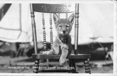 "A wolf cub at Camp Hughes, where the 107th Battalion trained. The battalion's emblem was a stalking wolf, and the unit was known as the ""Timber Wolf"" battalion."