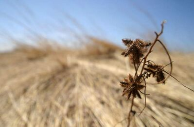 Wild Licorice is an example of the many types of plants at the Manitoba Tall Grass Prairie Preserve near Gardenton and Vita. The preserve could be named an endangered ecosystem to protect it further.