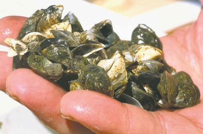 Zebra mussels multiply rapidly and can cause millions of dollars in damage.