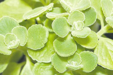 The aromatic fuzzy, grey green leaves of Cuban oregano, a succulent that originates in southern Africa, can be mixed with garlic to lend strong flavour to meat dishes.
