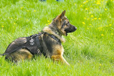 Quanto the police dog is shown in an Edmonton Police Service handout photo. Quanto died after being slashed while helping to capture a suspect involved in a pursuit.