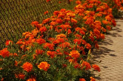 Herb Minderhoud's marigolds in the backlane of Martin Avenue West bordering Clara Hughes Recreation Park are shown.