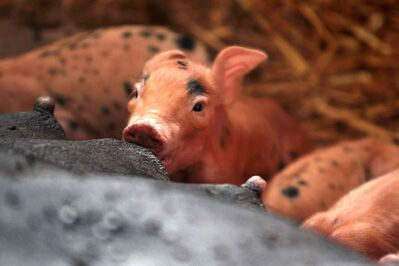 A suspected case of Porcine Epidemic Diarrhea virus (PEDv), a highly contagious virus deadly among piglets, has been discovered on a Manitoba farm.
