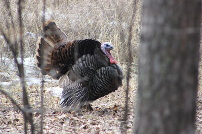 Turkey tom in wooded area in Souris.