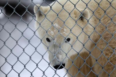 Storm peeks through the fence surrounding his pen at the Assiniboine Park Zoo Saturday.