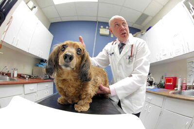 Dr. Jim Broughton examines Doug Speirs' miniature (but not so much) dachshund. Obesity in pets is increasing.