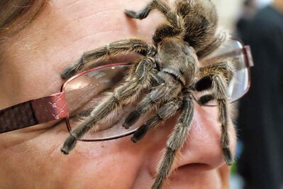 Kim Johnson gets eye-to-eye with one of her tarantulas at the Manitoba Reptile Breeders Expo held at the Victoria Inn Sunday. She and her husband, John, own 180 different kinds of the hairy giant spider.