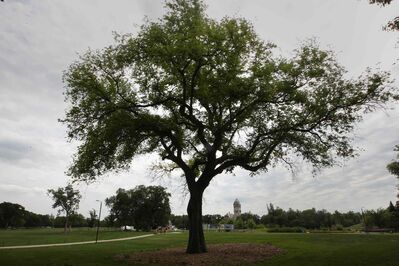 The majestic Grandma Elm tree in Assiniboine Park is too diseased to save, the Assiniboine Park Conservancy says.