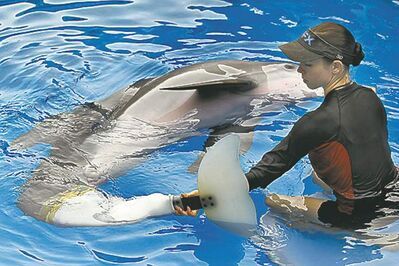 Bionics gave Winter, a bottlenose dolphin, a new tail after she became entangled in a crab trap line.