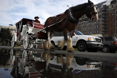 More than 900 people have signed a petition from the Victoria Horse Alliance group to request that the city cease operation of horse-drawn carriages in Victoria on Thursday, March 24, 2016. THE CANADIAN PRESS/Chad Hipolito