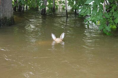 Water levels in St. Lazare have nearly obscured an ornamental deer in one resident's yard.