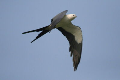 This file photo shows a swallow-tailed kite in flight.