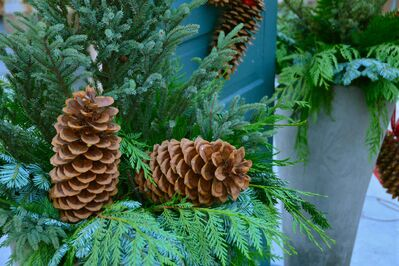 Mix your greens and choose from pine, fir, cedar and spruce. Weeping stems such as pine will drape over the edge of your container for a softening effect. Spraying with an anti-desiccant will keep your greens looking fresh.