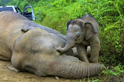 In this Wednesday, Jan. 23, 2013 photo released by Sabah Wildlife Department, a 3-month-old elephant calf tries to awake its dead mother at the Gunung Rara Forest Reserve in Sabah, Malaysia. Ten endangered Borneo pygmy elephants have been found dead in the Malaysian forest under mysterious circumstances, and wildlife authorities suspect that they were poisoned. (AP Photo/Sabah Wildlife Department) NO SALES, EDITORIAL USE ONLY