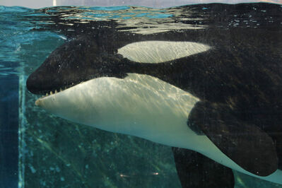 Orca Morgan swims in her tank at the Dolfinarium in Harderwijk, Netherlands.