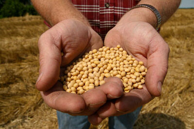 A farmer holds soybean seeds prior to planting.