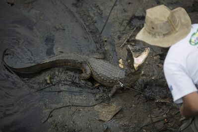 "In this Oct. 14, 2013 photo, ecology professor Ricardo Freitas catches a broad-snouted caiman to examine, then release back into the water channel in the affluent Recreio dos Bandeirantes suburb of Rio de Janeiro, Brazil. ""Caimans are like tanks, a very old species with a remarkable capacity for renovation that allows them to survive under extreme conditions where others couldn't,"" said Freitas, who runs the Instituto Jacare, or the Caiman Institute, which aims to protect the reptiles. ""But the fact of the matter is that their days are numbered if things don't change drastically."" (AP Photo/Felipe Dana)"