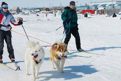 During the skijoring races at the Toonik Tyme festival in Iqaluit it often seemed that the skiers were leading the dogs, rather than the other way around.