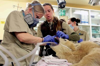 Charlene Berkvens (right), associate vet at the Assiniboine Park Zoo, holds Aurora's mouth open while animal health technologist Megan Desai works on the cub. (JORDAN THOMPSON)