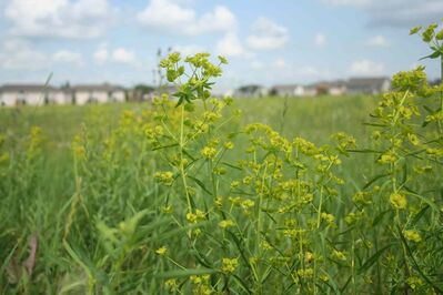 Leafy spurge is also spreading in vacant lots around Brandon.