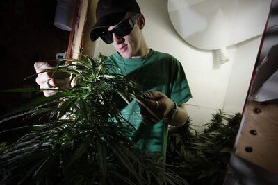 Steven Stairs, who is legally blind and uses medical marijuana to treat his glaucoma, examines his plants Monday.