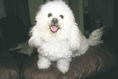 Lily, a Bichon Frise, went missing on Jan. 27 and her owner believes she was found and sold.