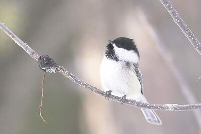 A year-round visitor, the Black-capped chickadee favours suet feeders, appearing with striking regularity. They often feed upside down and can be tamed to feed from the hand. (CHRISTIAN ARTUSO PHOTO)