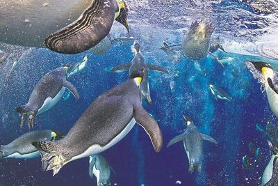 In this photo provided on Friday Feb. 15, 2013 by World Press Photo, the 1st prize Nature Stories by Paul Nicklen, Canada, for National Geographic magazine shows Emperor Penguins, even though they have evolved an incredibly advanced bubble physiology the greatest challenge they face is the loss of sea ice that supports their colonies and ecosystem. New science shows that Emperor Penguins are capable of tripling their swimming speed by releasing millions of bubbles from their feathers. These bubbles reduce the friction between their feathers and the icy seawater, allowing them to accelerate in the water. They use speeds of up to 30 kilometers per hour to avoid leopard seals and to launch themselves up onto the ice, Ross Sea, Antarctica, Nov. 18, 2011. (AP Photo/Paul Nicklen, National Geographic magazine)