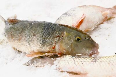 JESSICA BURTNICK / WINNIPEG FREE PRESS Some Manitoba fishers want to sell undesirable species without going through the Freshwater Fish Marketing Corporation, which won�t buy them. These sucker fish are considered bycatch.