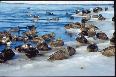 Eiders in the Arctic.
