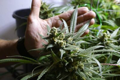 A study by the Organization of American States on marijuana and other illicit drugs was hailed as historic by  drug-policy  reform  advocates.