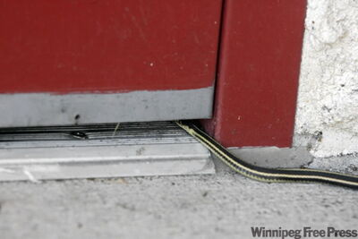 A snake hides under a door and waits to get in to Inwood Manor.