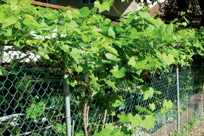 Grape vine greens up a chainlink fence and provides great fruit.