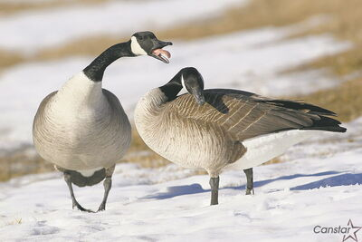 The return of geese to the lakes of Whyte Ridge will be a sure sign of spring's return.