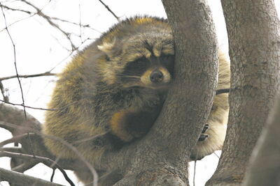 If you want to keep raccoons out of your yards, keep them clean and keep all potential shelters sealed.