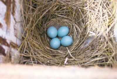 Bluebird eggs from one of Goulden's bluebird boxes.