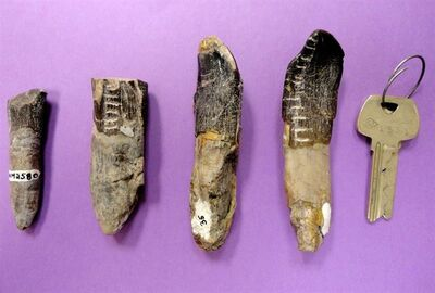 An undated photo released by Henry Fricke shows a sampling of dinosaur teeth from the Dinosaur National Monument in Utah. Scientists analyzing 32 teeth of plant-eating dinosaurs found that they migrated from the lowlands to highlands in search of food and water during the late Jurassic period. A new study suggests long-necked, plant-eating dinosaurs migrated hundreds of miles to find enough food for their gargantuan appetites. (AP Photo/ Henry Fricke,/Colorado College)