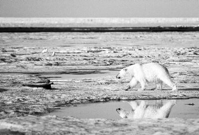 Thinning sea ice is a threat to polar bears, but do Canadians care?